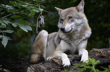 Wolf, isegrim, Predator, kiskjaliste, ohtlike, metsa, Kiire