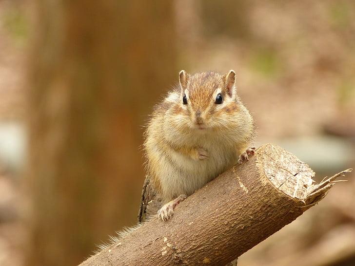 animal, esquirol, dieta