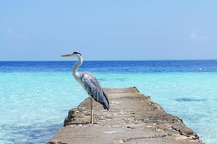 Херон, море, природата, птица, дива природа, океан, плаж