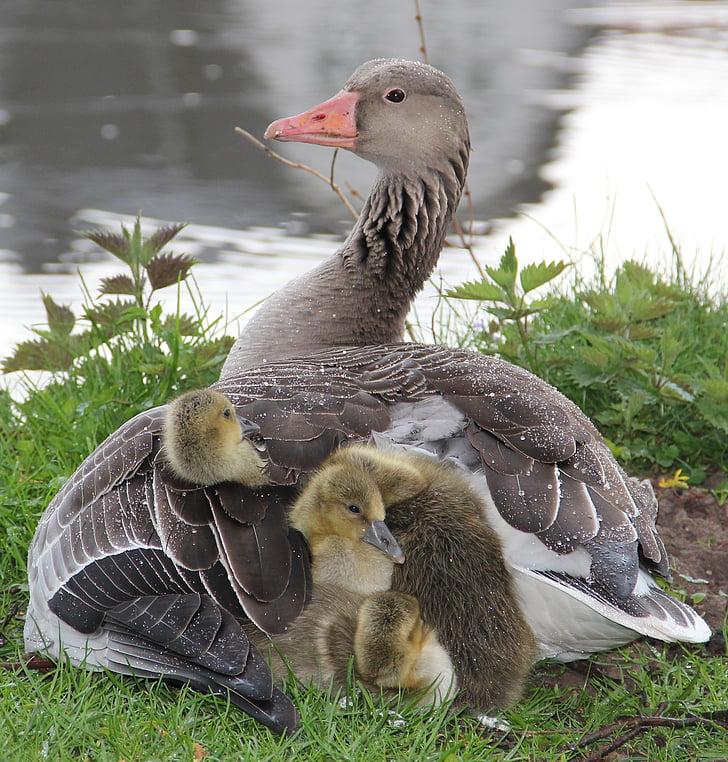 graugans poikanen, höyhenpeite äiti, suojaa sateelta, fluffy, pehmoinen, äiti ja lapset, Animal lapset