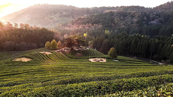 зелений чай, пейзажі, ранок