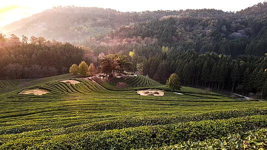 voor groene thee, landschap, ochtend