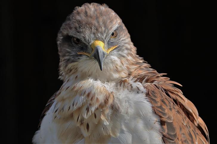 ferruginous hawk, hawk, ferruginous, carnivore, predator, bird, wildlife