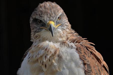 rautapitoiset hawk, Hawk, rautapitoiset, lihansyöjä, Predator, lintu, Wildlife