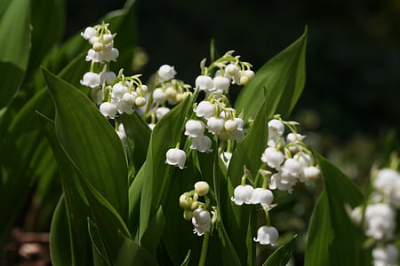 flowers, lily of the valley, spring