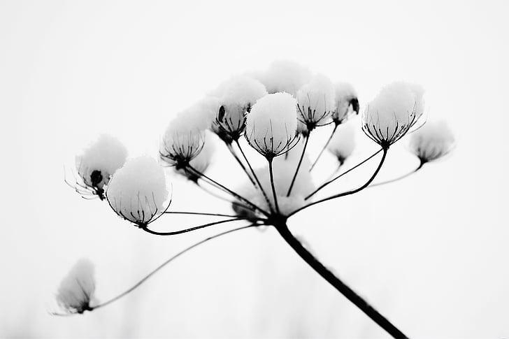 winter, blossom, bloom, snow, ball, white, nature