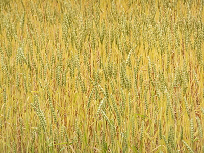 odra, väli, loodus, taim, põllumajandus, talu, kollane