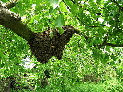 bees, swarm, apiary