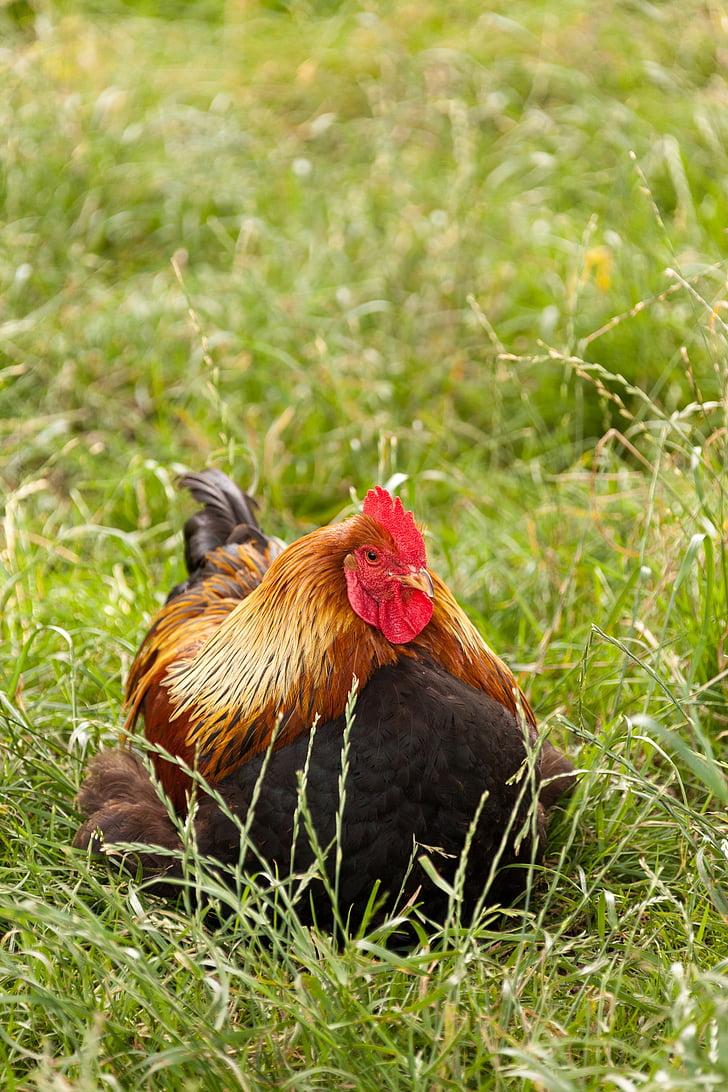 Селско стопанство, животните, клюн, птица, пиле, петел, петле