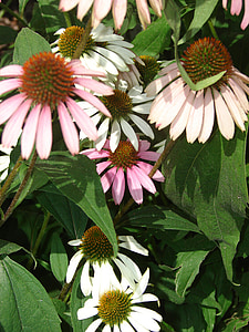 Coneflower, merah muda, mekar, bunga, tanaman, ungu, mekar