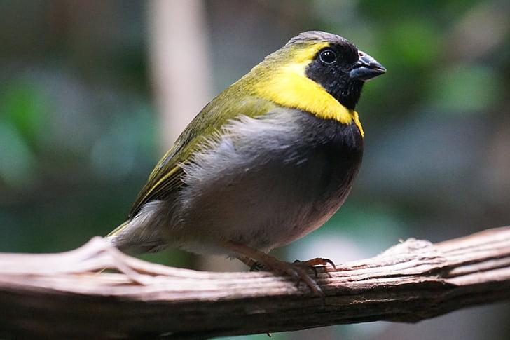 тюркоаз птица, птица, животните, Songbird