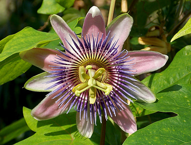 flor de la passió, flors exòtiques, flor, flor, exòtiques, planta, pètals