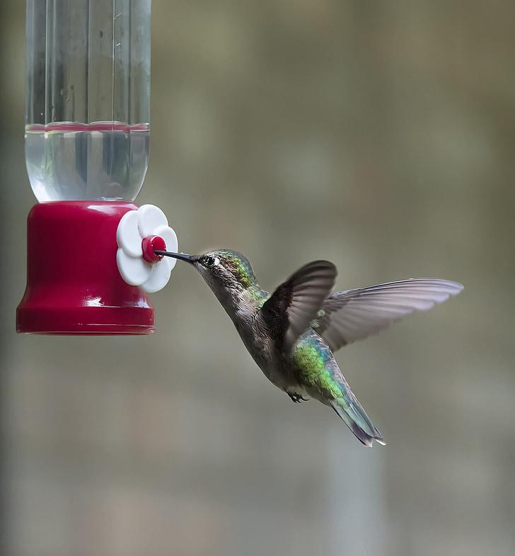 hummingbird, bird, wing, fluttering, wildlife, iridescent, animal