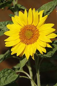 flors de sol, gran, flor, flor, sol