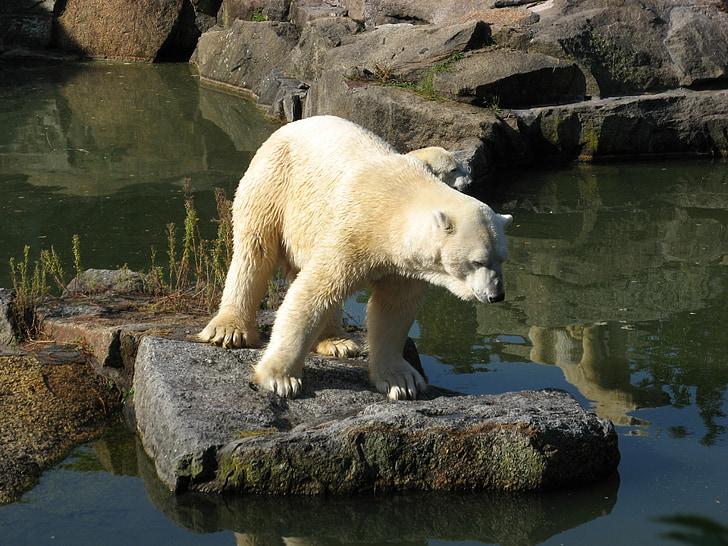 Zoo, zvieratá, medveď, svet zvierat, ľadový medveď, Príroda, zviera