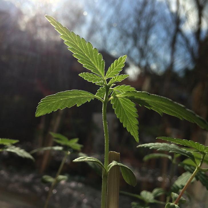 cànnabis, plàntula, fullatge, marihuana, fulla, natura, planta