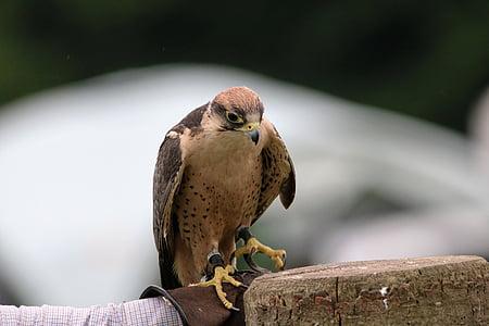 Lanner falcon, Falcon, lintu, Lanner, nokka, Predator, Raptor