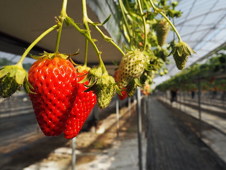 strawberry, strawberry picking, suites