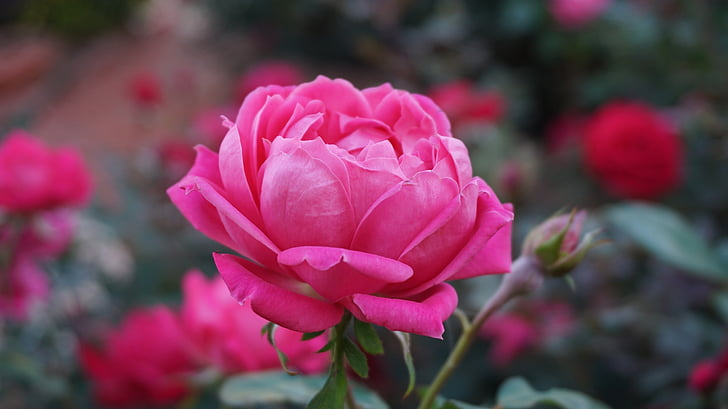 一朵玫瑰, 浪漫, 美, 香气, 粉色, 绽放, 粉红玫瑰