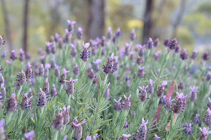 lavendel, bloem, lavendel bloem, Lila, Tuin, Floral