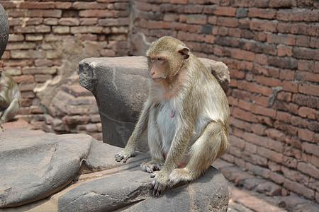 ciutat de micos, Tailàndia, Lopburi, micos, simis, primats