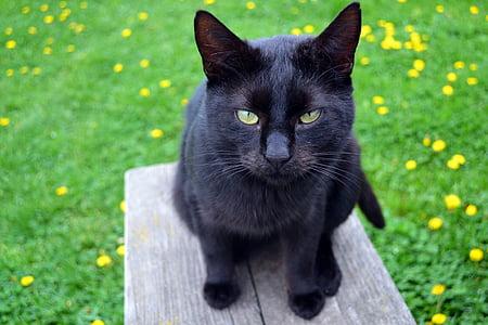 cat, black cat, kitty, black, pet, animal, feline