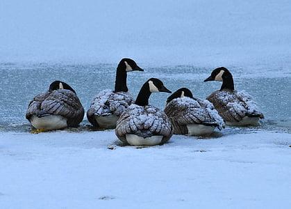Angsa Kanada, burung, unggas air, satwa liar, alam, beristirahat, dingin