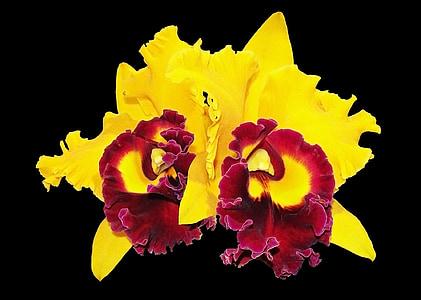orhideed, lill, kollane orhidee