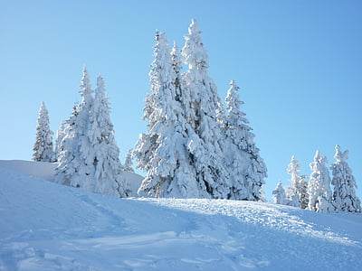 firs, snow, sky, blue, snow landscape, cold, wintry