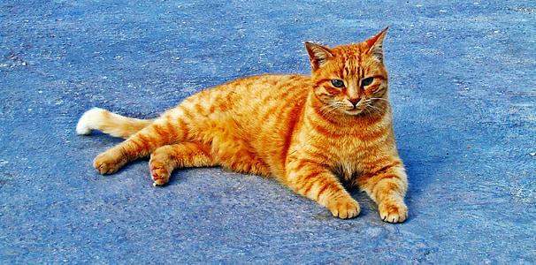 cat, ginger, cute, feline, resting, pet, animal