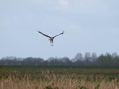 păsări răpitoare, aripa, pasăre, pasăre de pradă