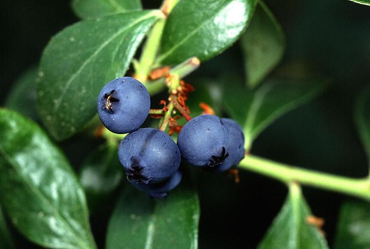 Μύρτιλο, φρούτα, τα βατόμουρα, φρούτα, φυτά, χλωρίδα