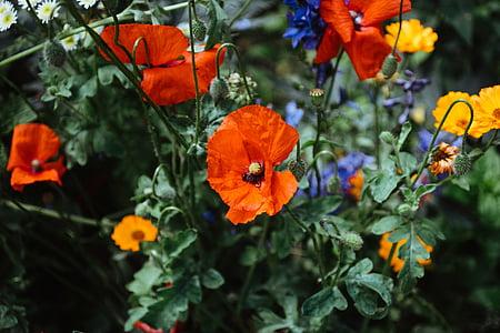 oranžinė, aguonos, calendulas, žydėti, dienos, gėlės, sodas