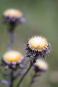 alam, Dandelion, tanaman, hijau, musim panas, bunga, Taman