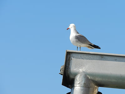 seagull, bird, animals, birds