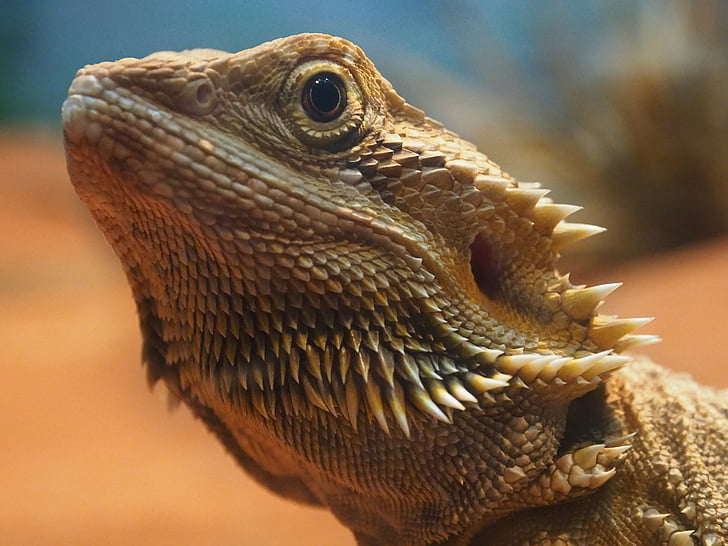 lizard, close up, reptile, orange, portrait, australia, bearded