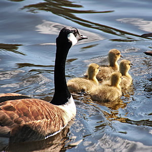 hanhi, hanhet, Mother goose, Poikaset, Luonto, lintu, Wildlife
