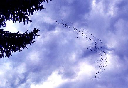 guske, Kanada guske, stado, guska, priroda, ptica, nebo