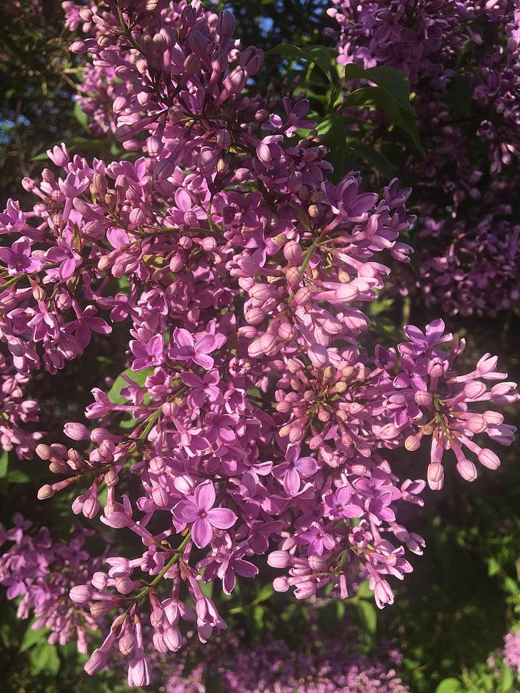 liliowy, wiosna, fioletowy krzew, ogród