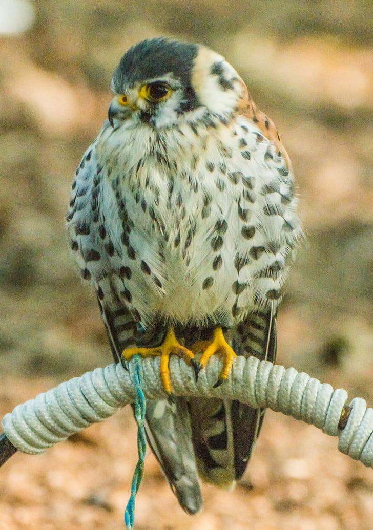 граблива птица, природата, птица, животните, птици, пера