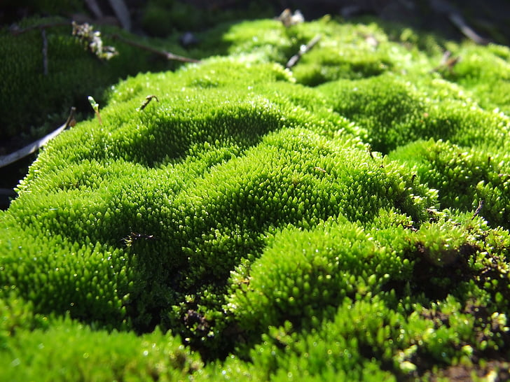 moss, plant, green, macro, natural, forest, nature