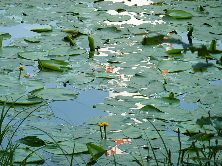 water lilies, lily pond, water, pond, lake rose, aquatic plant, garden pond