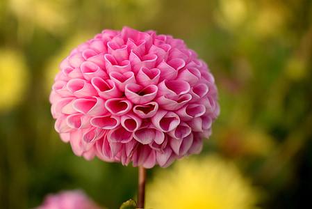 Armastus, lill, südame, roosa, kevadel, Dahlia, südamed