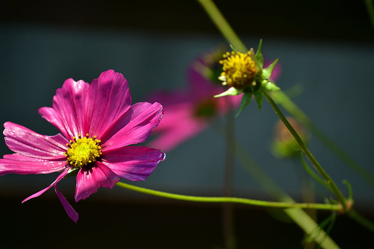 cosmea, bright flower, blooming, nature, flower, plant, summer