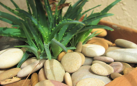 Aloe, houseplant, kamenje, biljka, cvijet, unutarnji