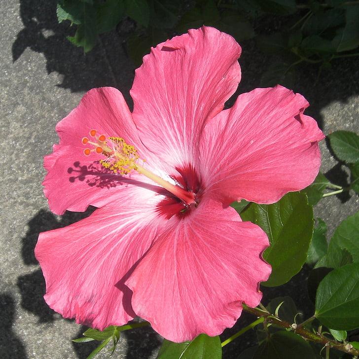 flower, bloom, red, spring, blossom, blooming, petal