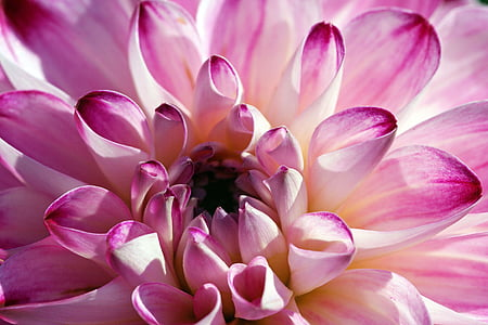 Dahlia, daaliate, Dahlia Aed, lill, õis, Bloom, Aed