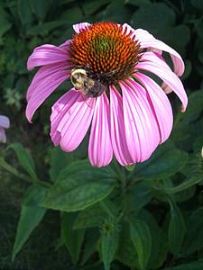 bunga, bunga, lebah, lebah, tanaman, tanaman, botani