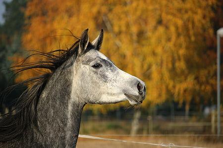 konj, čistokrvni arapski, Mare, konjsku glavu, kalup, jesen, pašnjak