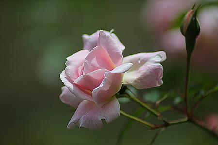 rose, floral, plant, natural, blossom, bloom, petal